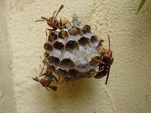 Wasps in nest