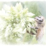 honeybee on Callaloo watercolor