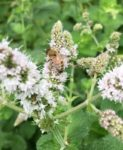 honeybee on mint